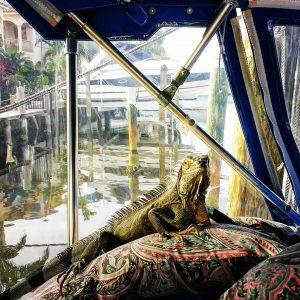 Lizard has a rough life  boatlife fortlauderdalestyle iguana dinasour